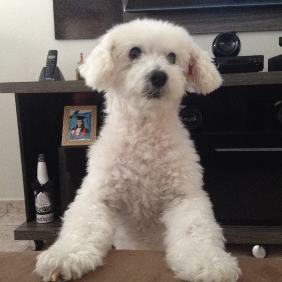 Bobby, o poodle do Matheus